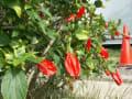 [41]ウナズキヒメフヨウの花