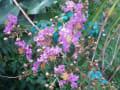 [1]サルスベリの花1