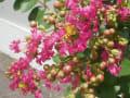 [3]サルスベリの花3