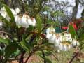 [308]リュウキュウアセビの花