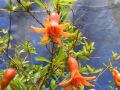 [238]ヒメザクロの花