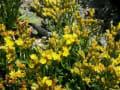 [36]ウコンイソマツの花