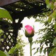 2006-5-25-15 思い出の初薔薇(名なし)