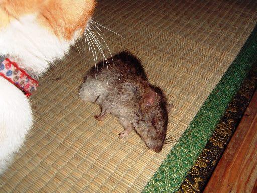 ネズミの画像 p1_11