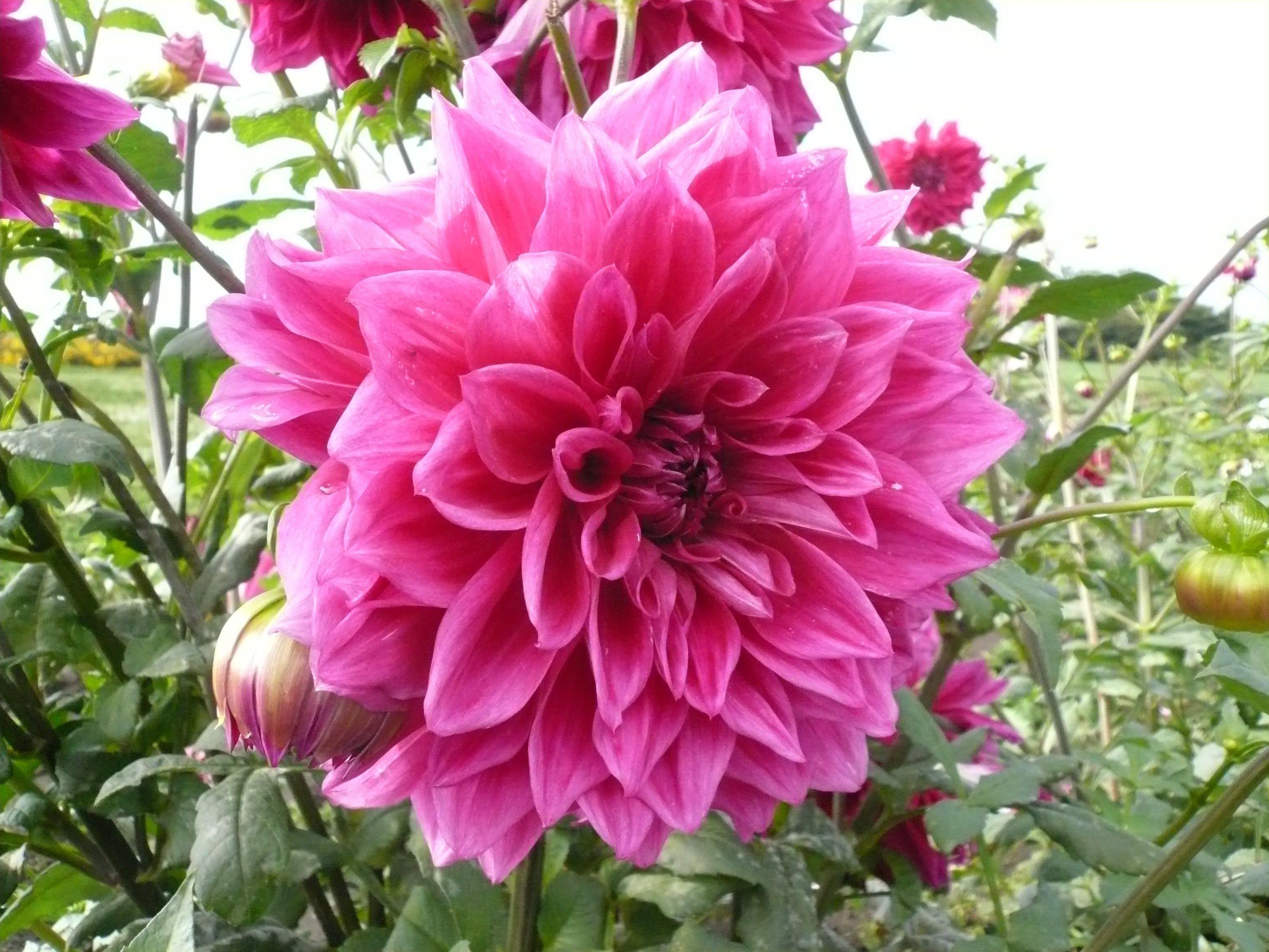 7月29日の花と❀花言葉❀サボテン、ダリア、鳳仙花(ほうせんか)