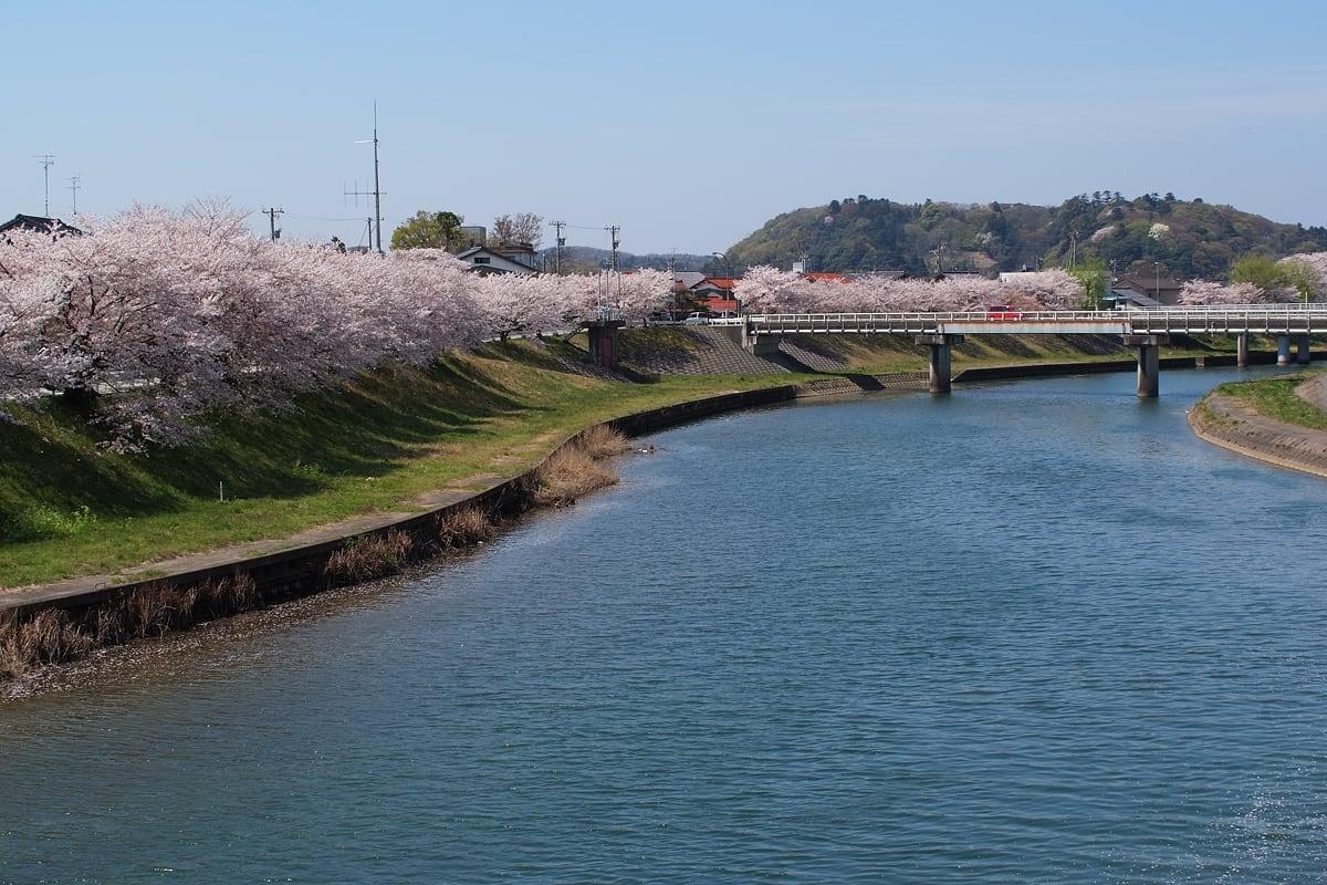 写真は 大聖寺川の桜並木。 石川県まで来たんだなぁ。 桜は少し散り始め... 大聖寺川の桜並木