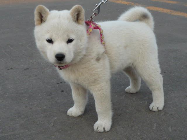 北海道犬が超かわいい!ソフトバンクのお父さん犬で有名!