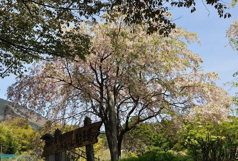 三多気の桜駐車場