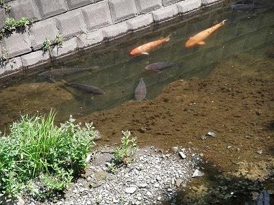 鯉ものんびりと...