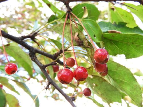 高ボッチ高原・鉢伏山で最近見る事の出来る実・種 エゾノコリンゴ(蝦夷小林檎)
