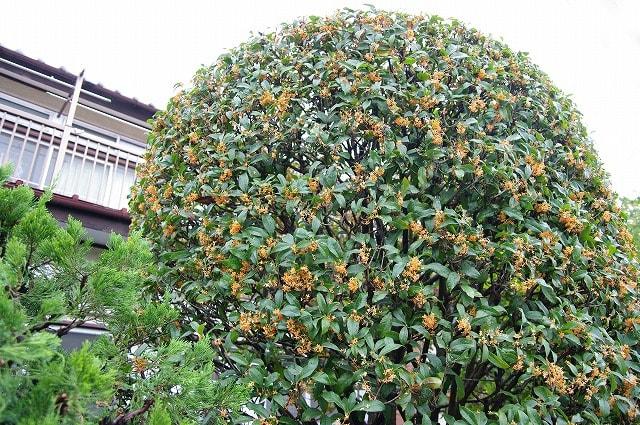 木犀(モクセイ) ・・・ 志木市の「市の木」 - めいすいの写真日記