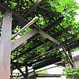 2011-6-4-20 ツル性植物