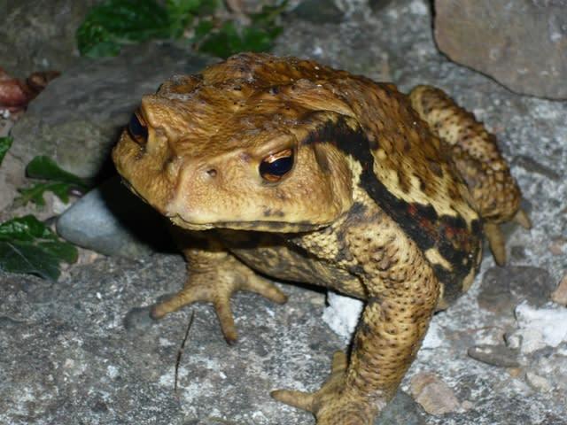ニホンヒキガエルの画像 p1_29