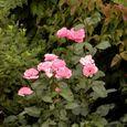 2006-6-21-1 思い出の初薔薇(名なし)