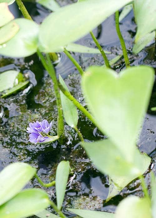 *** 小水葱の花(こなぎのはな) ***   「腹案を見過ごすよう... 小水葱の花(こなぎの