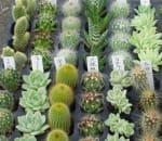 プチ寄せ植えに最適サイズのプラグ苗仕様のサボテン&多肉植物