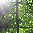2011-6-4-24 ツル性植物