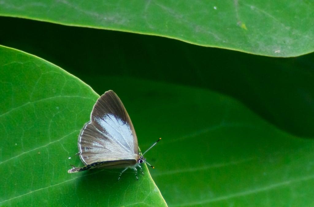 ウラクロシジミ(メス開翅)