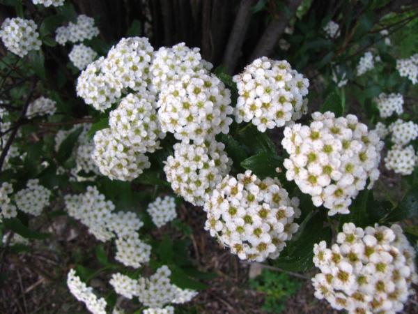 5月の庭から 花木編 - あた子の柿畑日記