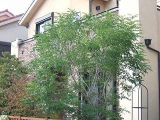 (物件の近くにもシマトネリコを植えた家がありました) しかし、庭木のト... 住宅が売れる庭木