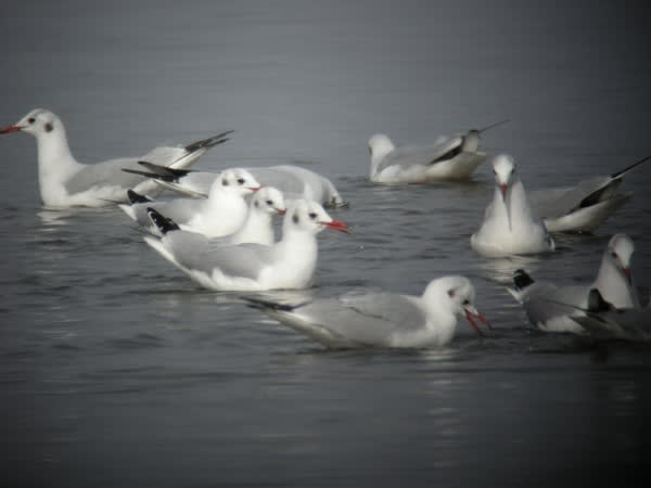 春日遅々 磯部漁港 - 相馬の野鳥