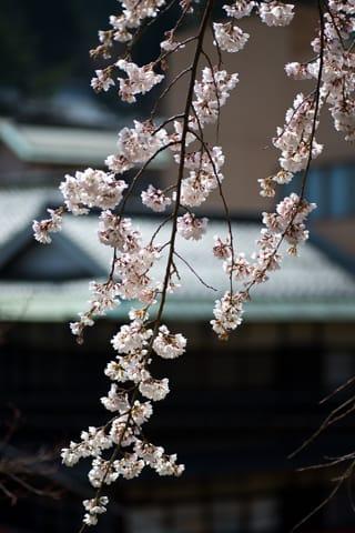 善福寺の糸桜