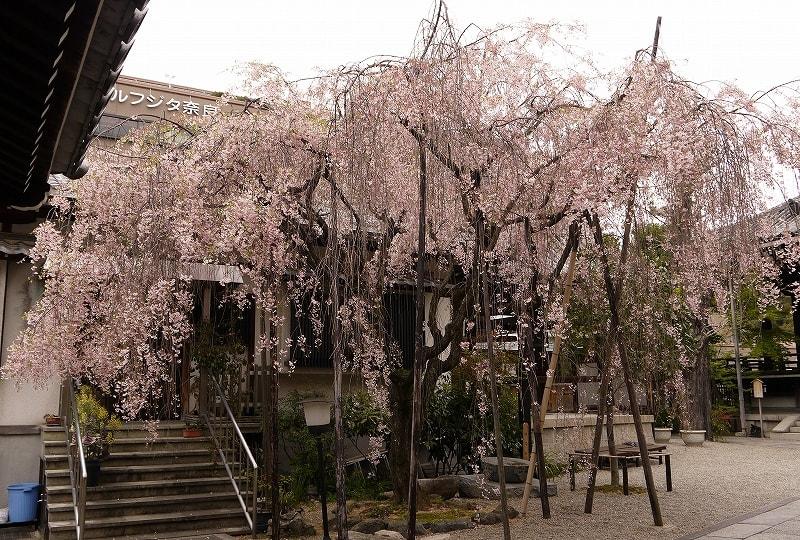 浄教寺枝垂桜