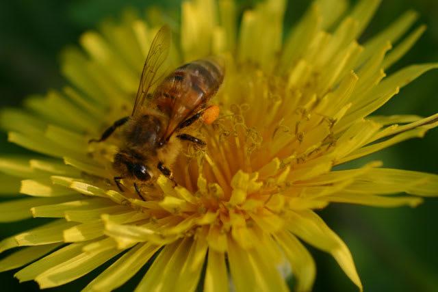 ミツバチの画像 p1_26