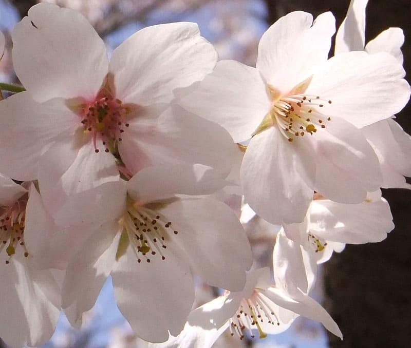 Sakura1203316872