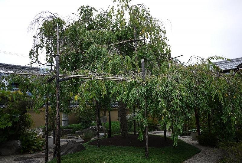 庭園の枝垂桜