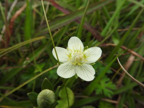 高ボッチ高原・鉢伏山で最近咲いている花 ウメバチソウ(梅鉢草)