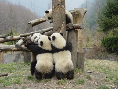 パンダの画像 p1_24