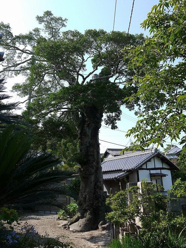 浄福寺のクロガネモチの巨樹