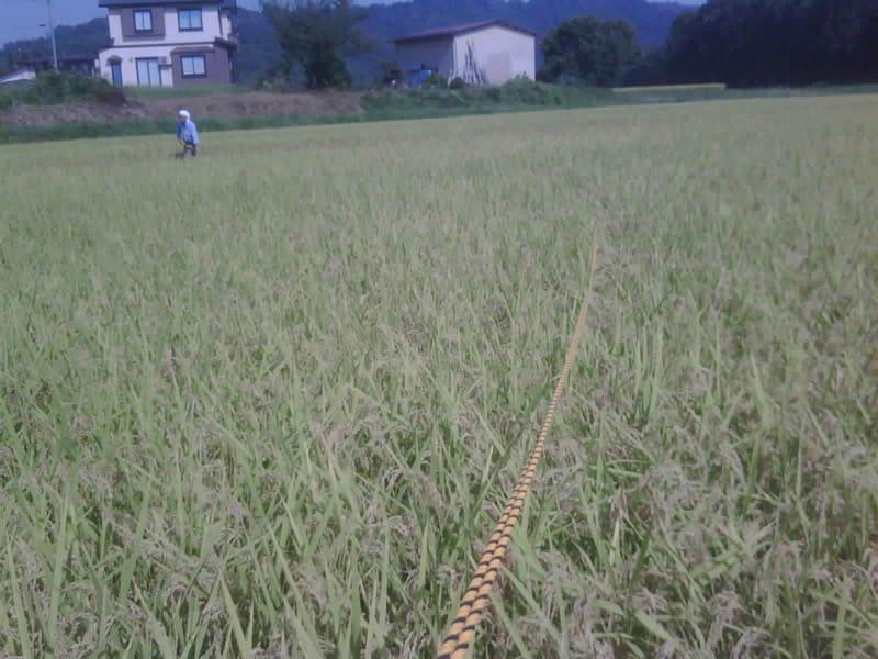 稲刈り準備 露払い