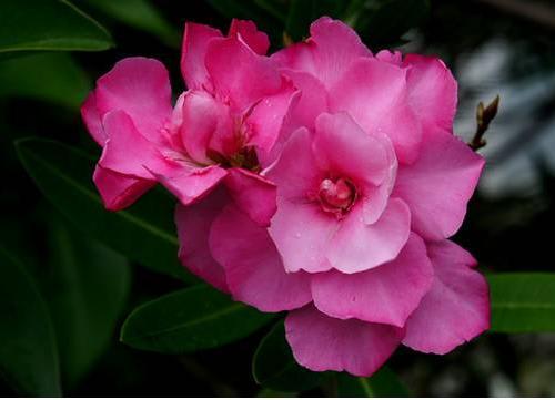 上:桃色に八重咲きが多く見られる 下1段は1個体 ...