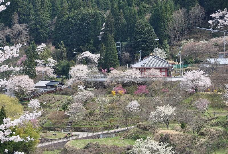 室生地蔵院と桜