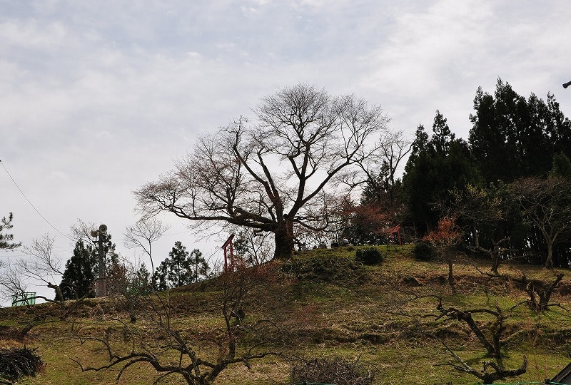 才谷の稲荷桜遠景