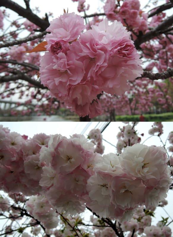 Double_flowering_cherry_trees_in_fu
