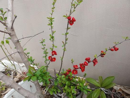 ボケ (植物)の画像 p1_11