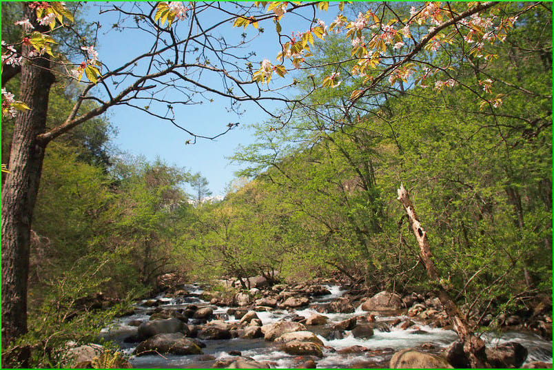 須砂渡の渓流に咲く山吹や桜 ...