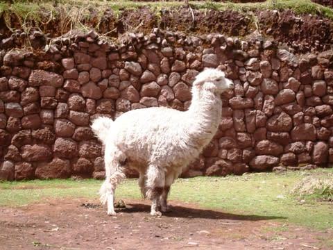 リャマの画像 p1_36
