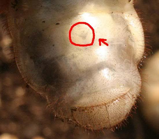 「カブトムシ 幼虫 v」の画像検索結果