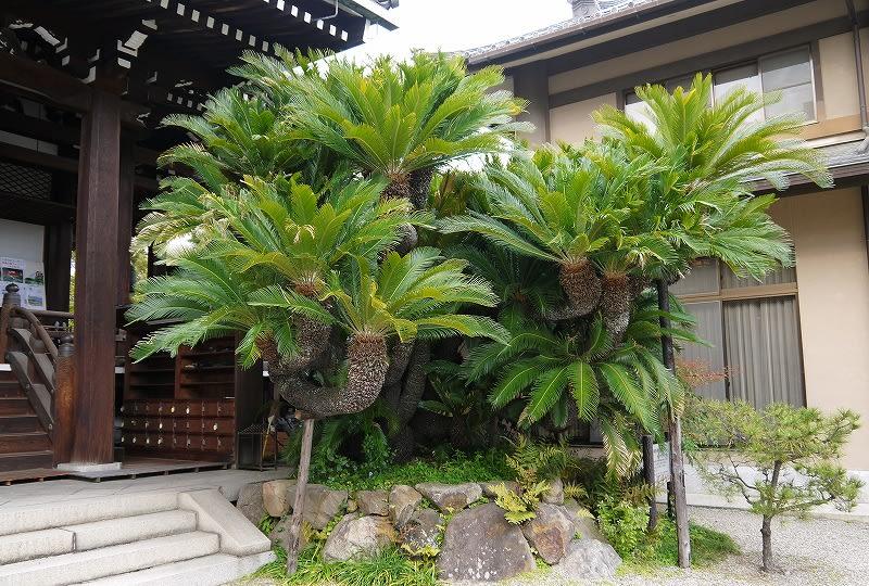浄教寺ソテツ巨樹