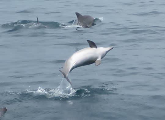イルカのお腹は白い