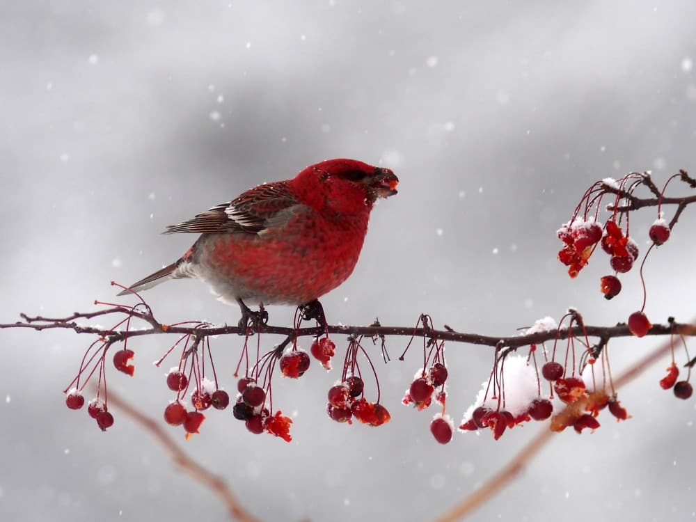雪景色のギンザンマシコ - ダイビングと生き物の写真ブログⅡ~魚・鳥・花・蝶・トンボなどなど