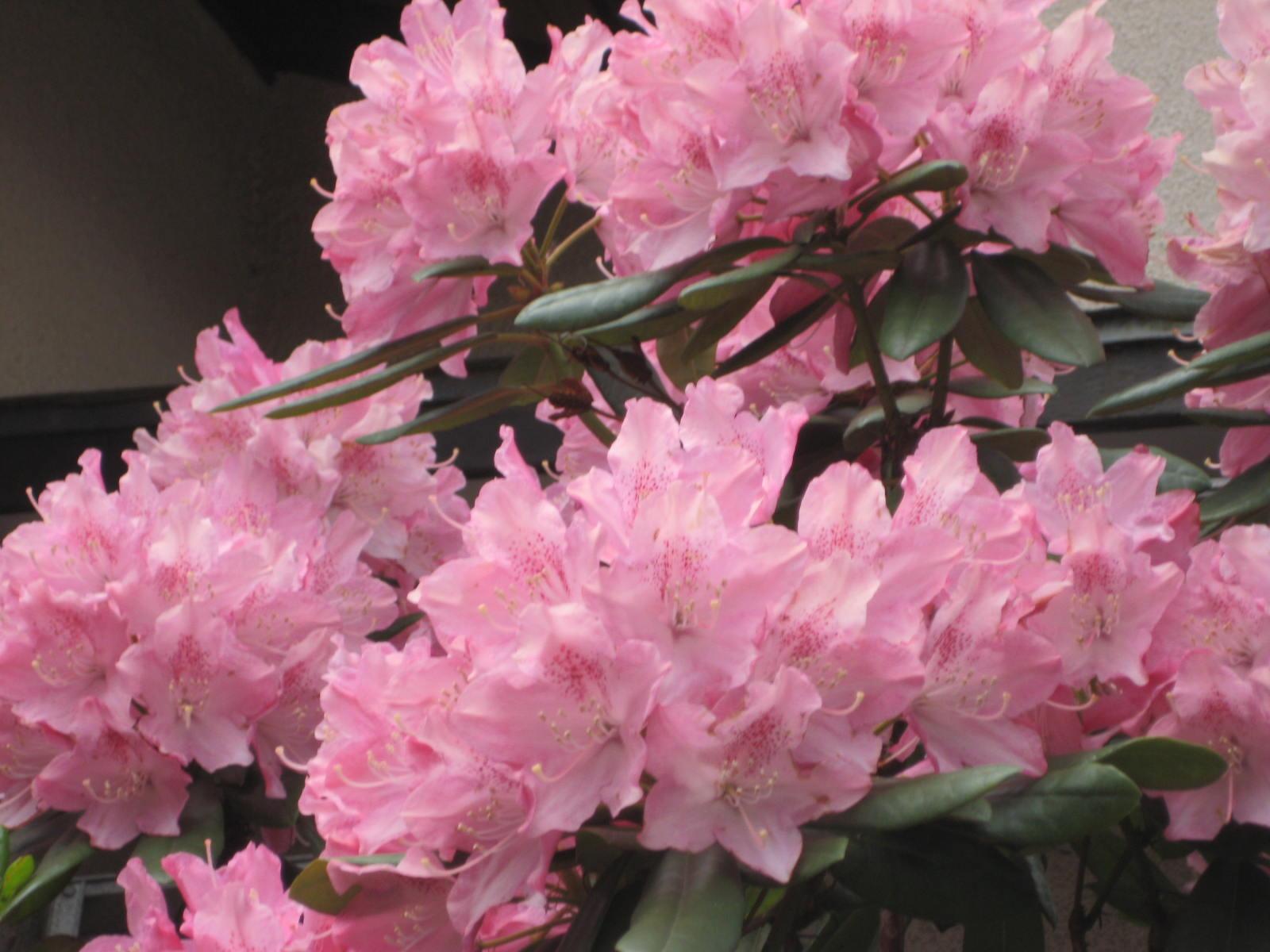 シャクナゲ(石楠花)」 - 花 ...
