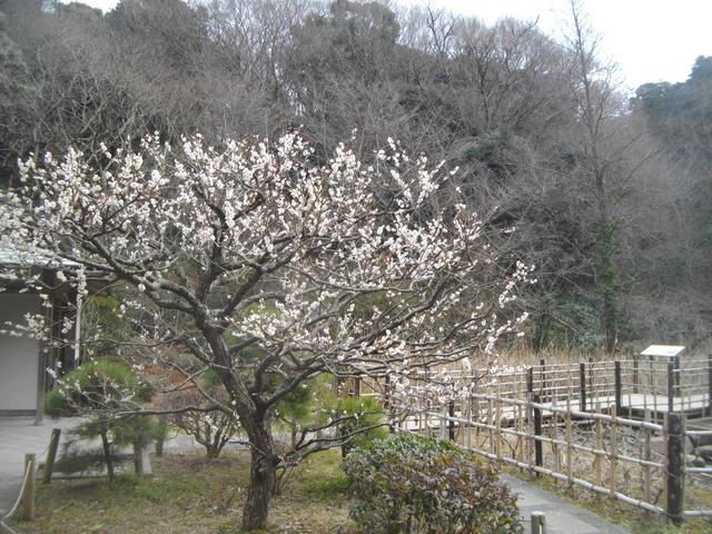 春たけなわの鎌倉:鎌倉中央公園の梅 - 中高年の山旅三昧(その2)