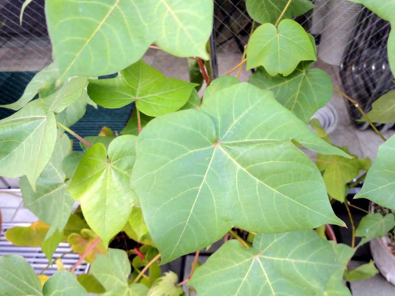 08月31日 綿の葉