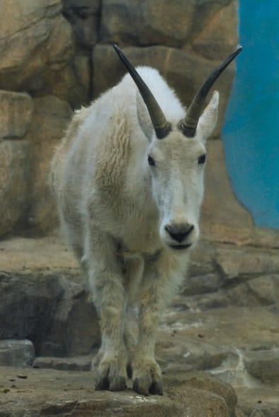 シロイワヤギの画像 p1_27