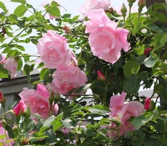 姫野 バラ 園 マーガレットメリル - 今のジャンルはバラ庭